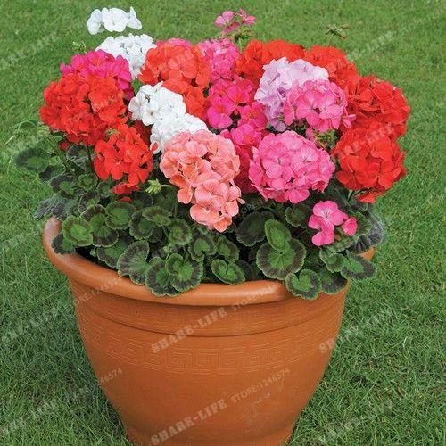100 Pcs Multicolore Univalve Geranium Graines Graines De Fleurs Vivaces Pelargonium Peltatum Graines pour La Maison Jardin Intérieur