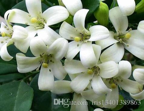 2018 a set orange jasmine shrub with fragrant white flower seed 2018 a set orange jasmine shrub with fragrant white flower seed amazing rare hello my sunshine my dear friend from iris13401389863 1608 dhgate mightylinksfo