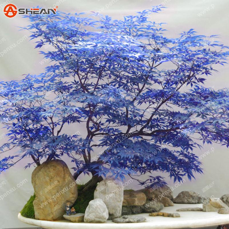 Wholesale10 Rare Blue Maple Seeds Maple Seeds Bonsai Tree Plantplant bonsai