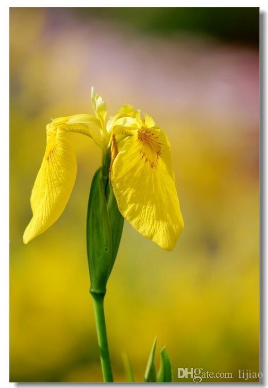 100 шт. Семена радужной оболочки, семена орхидей ириса, редкие семена веревника Tecentum многолетних семян цветов, 24 цвета на выбор, завод для дома Gatden