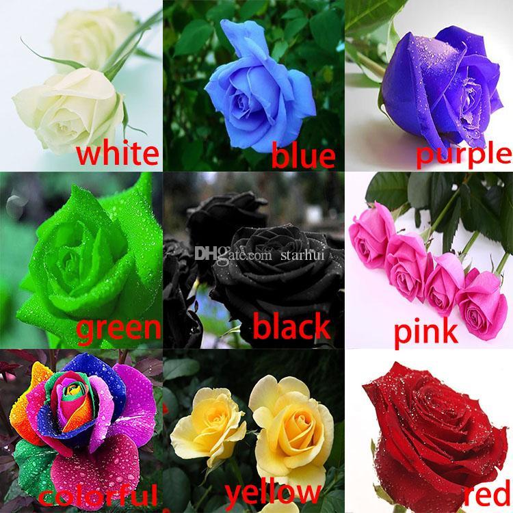 Rosa Sementes Frete Grátis Colorido Rainbow Rose Sementes Roxo Vermelho Preto Branco Rosa Amarelo Verde Azul Rosa Sementes 100 pçs / saco WX-P01