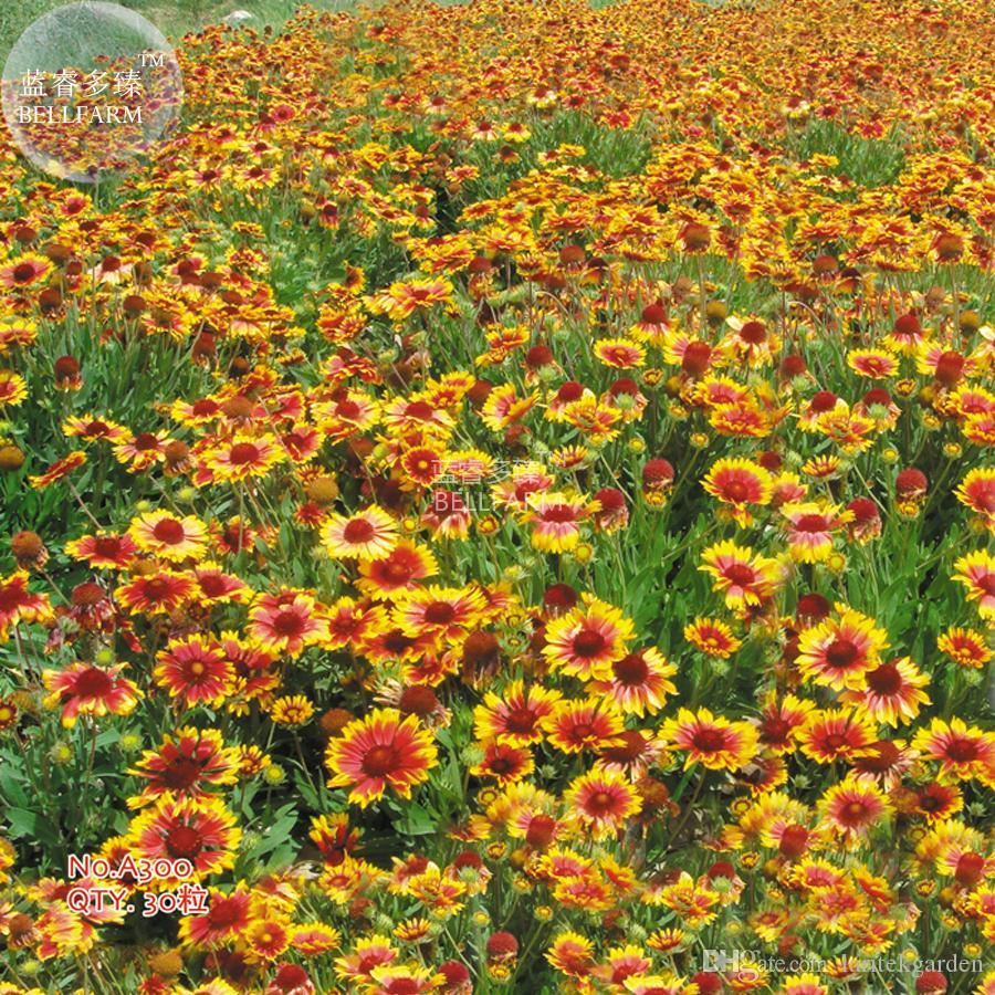 2018 Bellfarm Indian Blanket Perennial Dwarf Gaillardia Flower Seeds