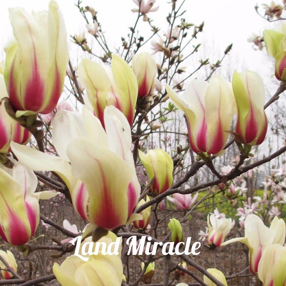 Rare Chinese Yellow Pink Denudata Sunrise Magnolia 10seeds