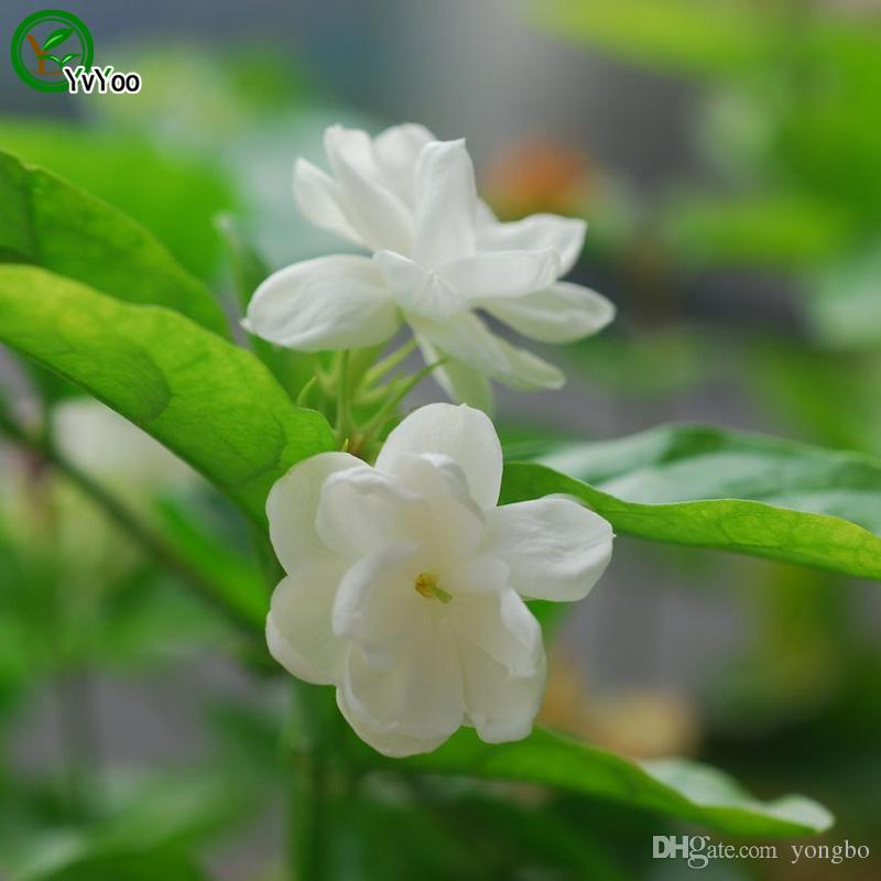 Fragrant flower Jasmine Seeds Promotion Balcony Bonsai Flower Seeds Flowering Plants W018