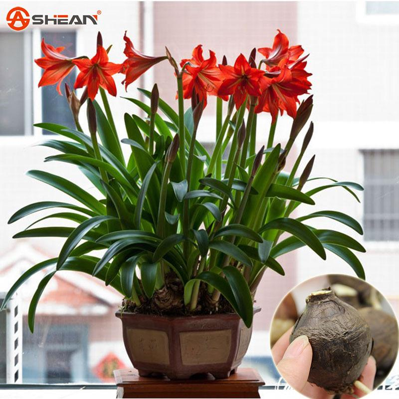 2017 potted flowers white amaryllis bulbs hippeastrum bulbs potted plants they are not. Black Bedroom Furniture Sets. Home Design Ideas