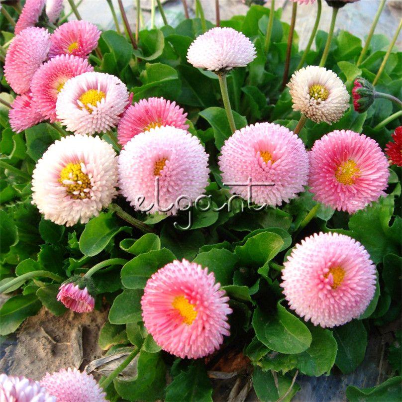 2019 Lovely Pink Daisy Biennial Flower Seeds Bellis Daisy Easy To