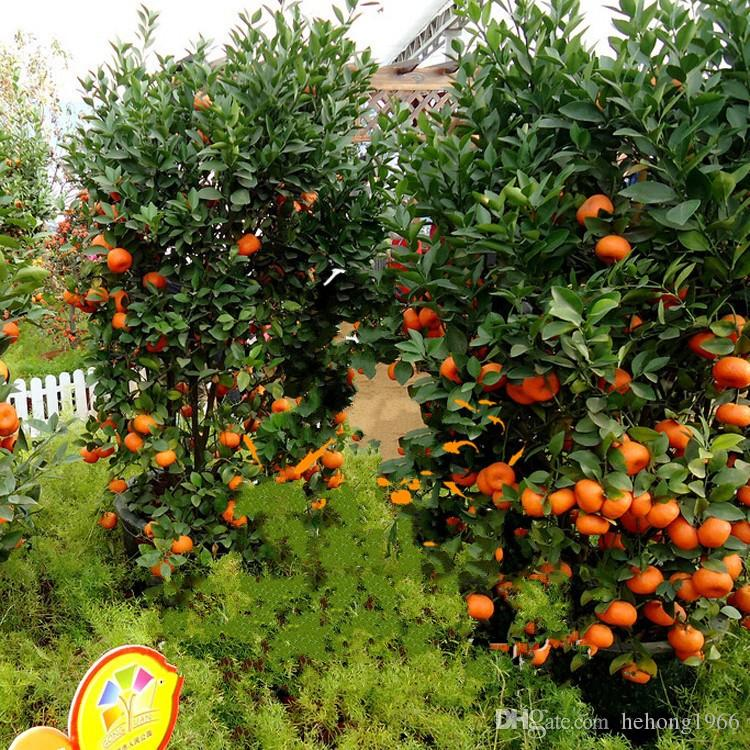 2019 65xy Fruit Seed Dwarf Standing Orange Tree Seeds