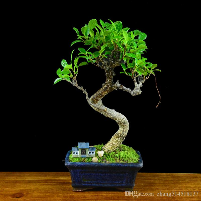 banyan tree seeds bonsai holes, living room suction formaldehyde plants, potted plants, anti radiation ginseng fig, evergreen
