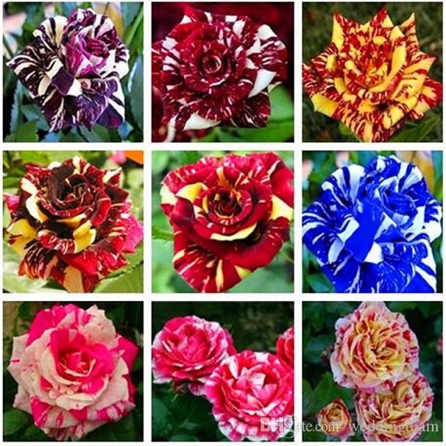 cheap mixed color rose flower seeds 300 seeds package balcony