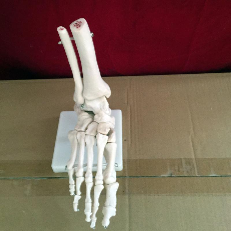 2018 Wholesale Life Size Human Life Size Right Foot Joint Anatomical ...