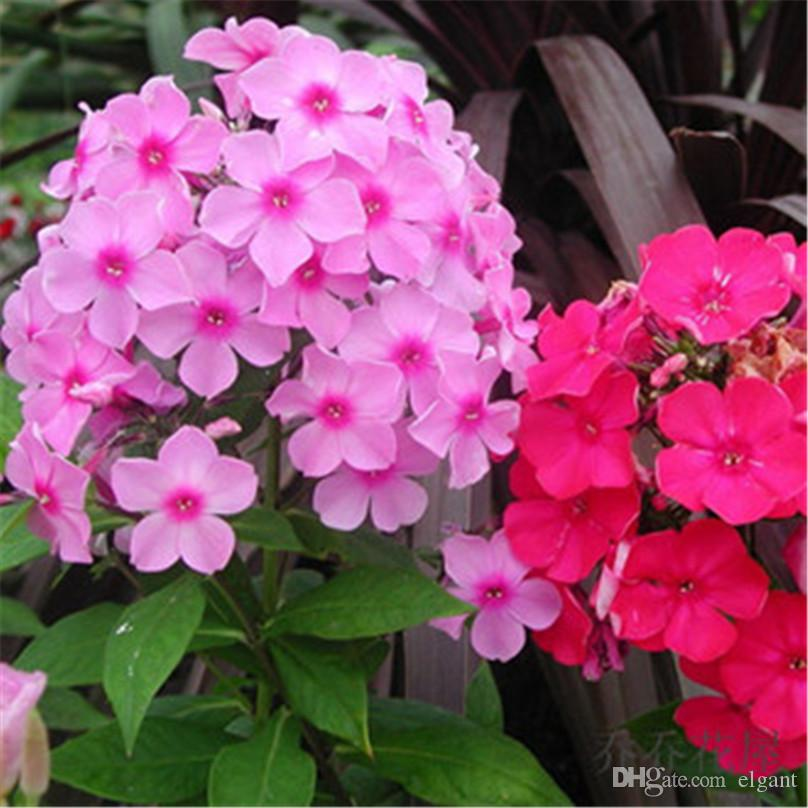 Phlox bush flower seeds mix color annual diy home garden landscape phlox bush flower seeds mix color annual diy home garden landscape flowering bush plant phlox flower seeds phlox flower seeds for planting easy growing mightylinksfo