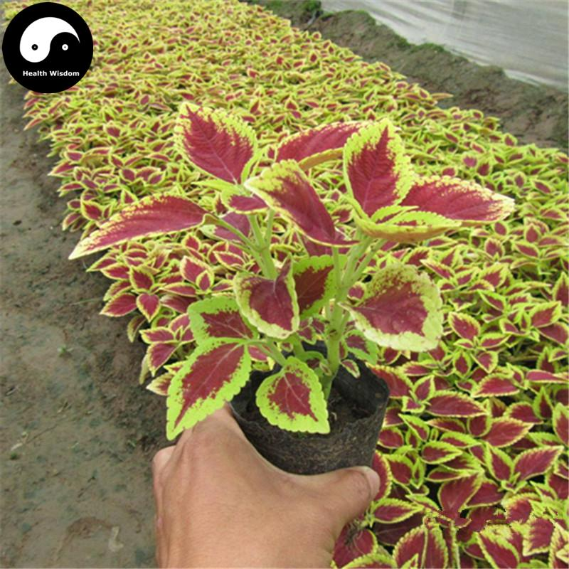 2018 Buy Coleus Scutellarioides Seeds Plant Herb Color
