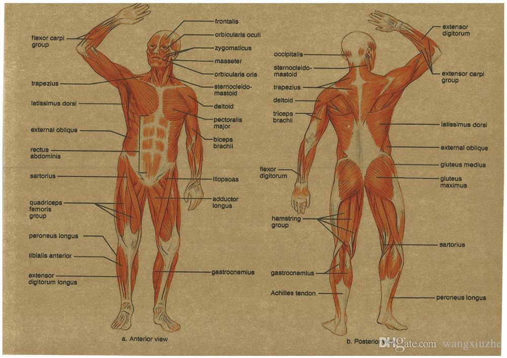 Best Vintage Medicine Human Anatomy Posters Kraft Paper Painting ...