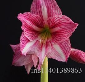 2018 a set autumn pink lady good amaryllis flower bulbs hippeastrum 2018 a set autumn pink lady good amaryllis flower bulbs hippeastrum bulbs rare hello my sunshine my dear friend happy moment for you from iris13401389863 mightylinksfo