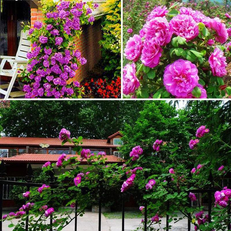 Hot Sale Rose Seeds Purple Red White Pink Yellow Green Blue Plant