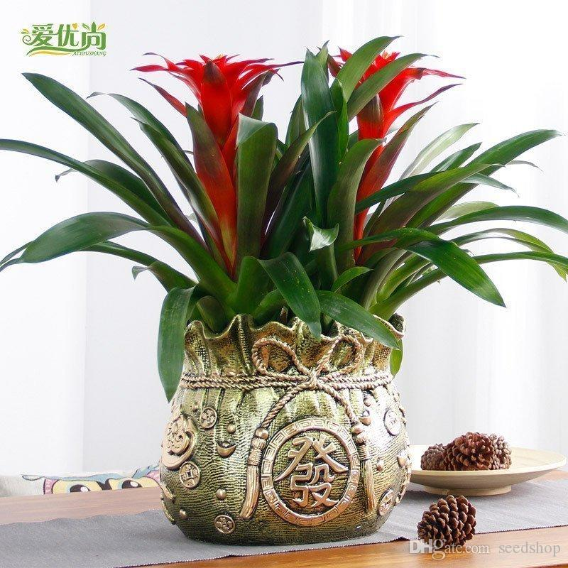 is our lunar New Year flower seeds lucky pineapple Ivy seed mix Festival gift indoor potted plants