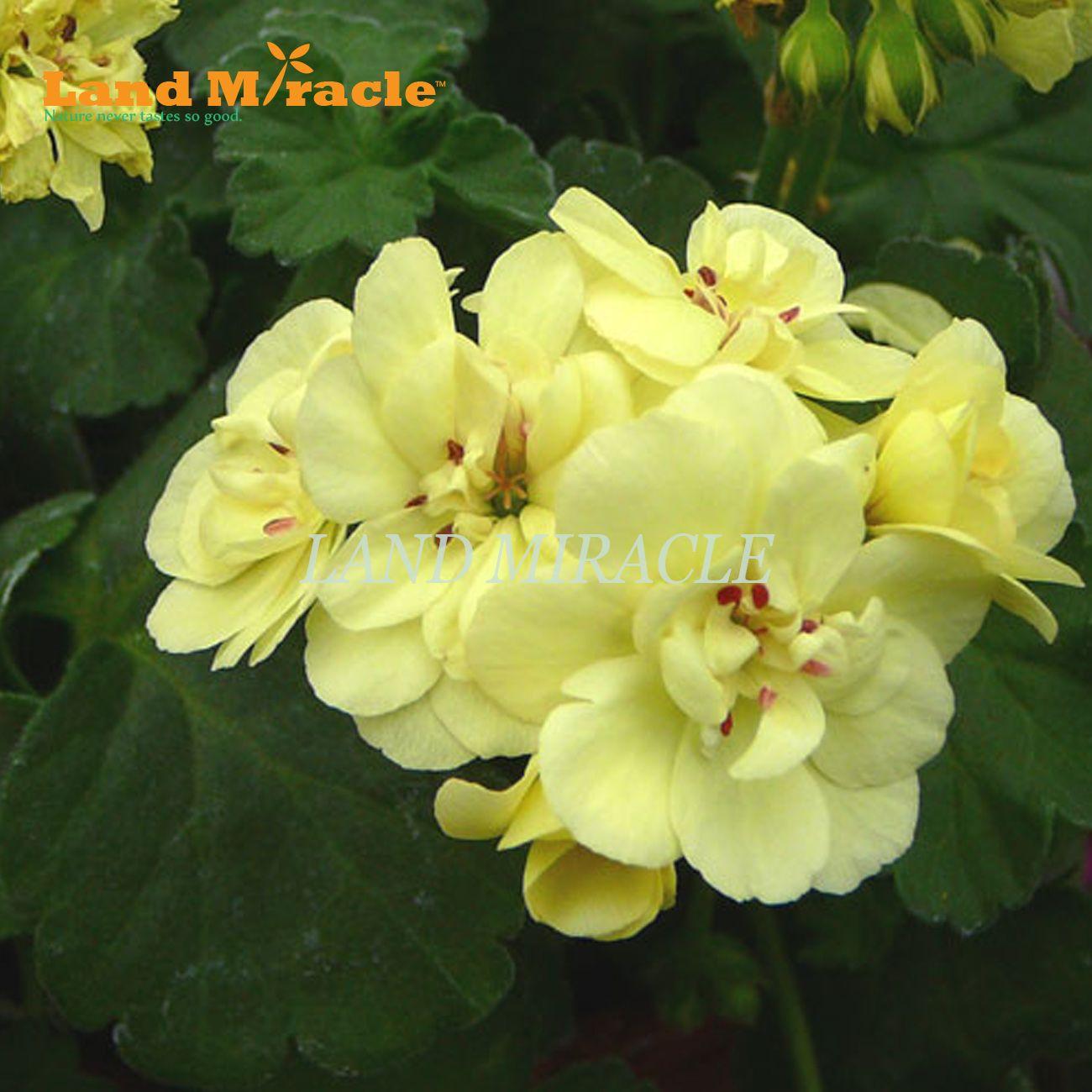 Rare Geranium Seeds, 5 Seeds, Yellow Pelargonium Perennial Potted Plant indoor / outdoor Garden Flowers