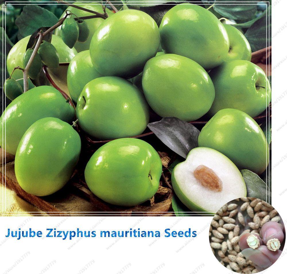 2018 Jujube Zizyphus Mauritiana Seeds Indian Jujube Tree