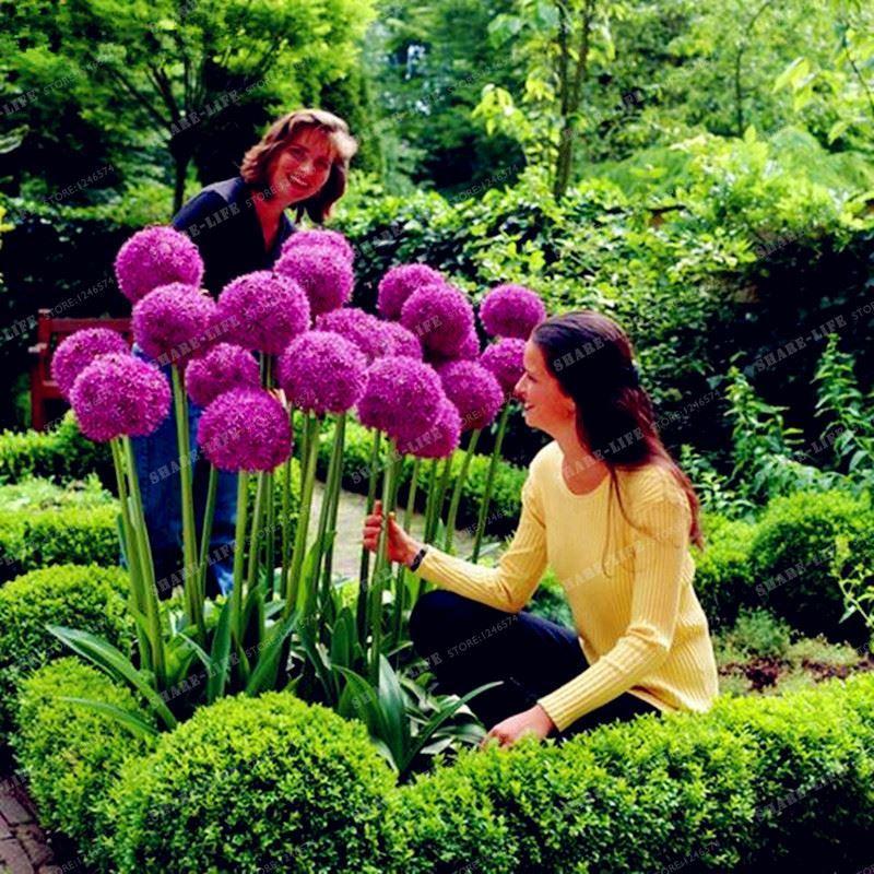 Yaratıcı Bitki 100 adet Dev Soğan Tohumları Allium Giganteum Çiçek Tohum Çiçek Bonsai Bitki DIY Ev Bahçe tesisi Ücretsiz Kargo