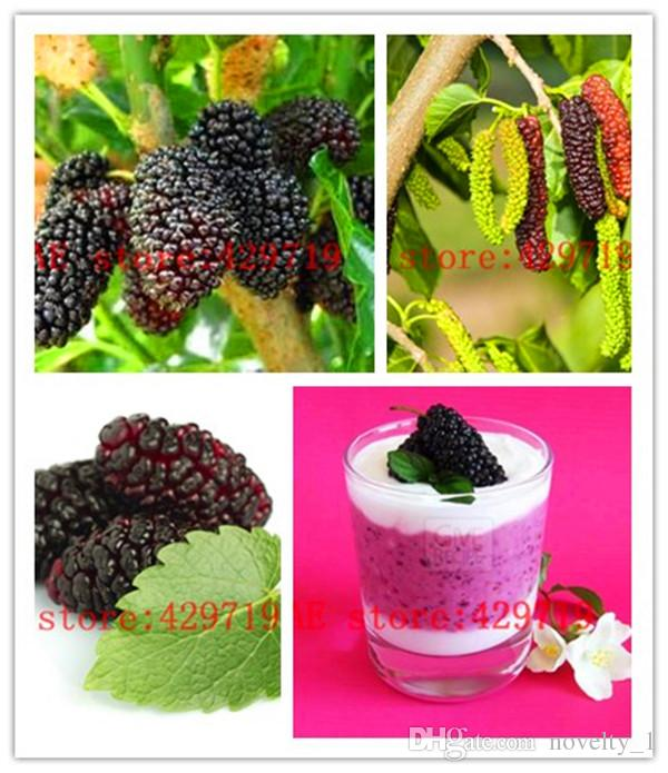 644ac00c1d 2019 Black Mulberry Seeds Morus Nigra Tree Blue Berry Fruit Seeds Buy  Direct From China From Novelty_1, $20.36 | DHgate.Com