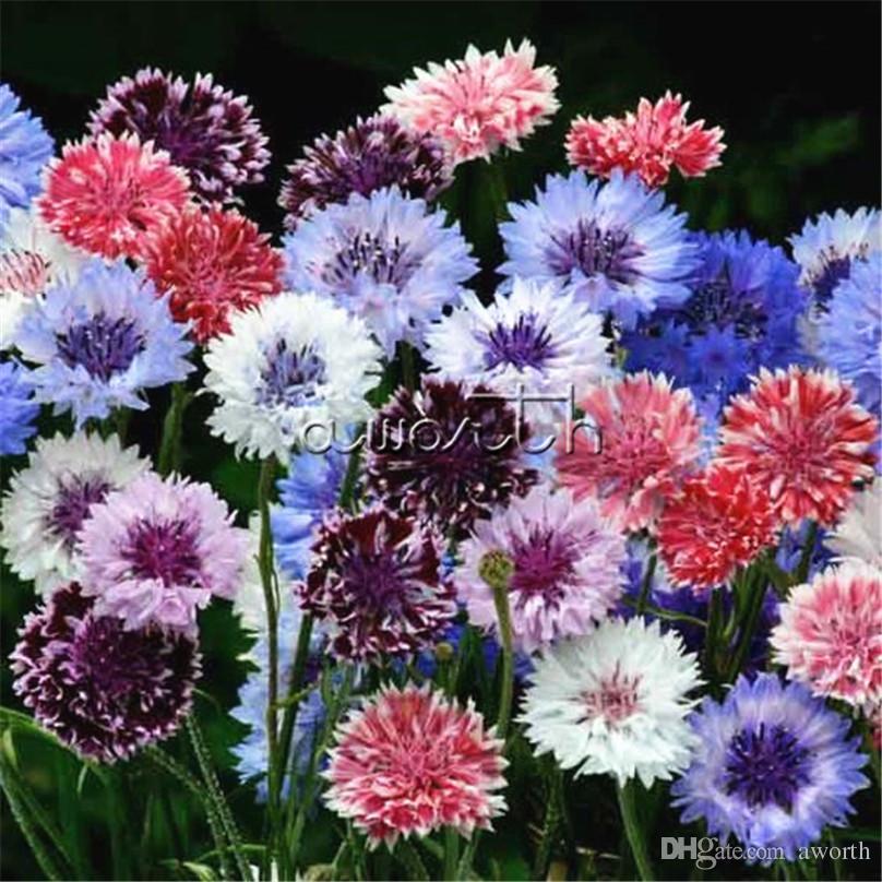 Mixed Color Cornflower Bachelor Button Flower 400 Seeds Centaurea
