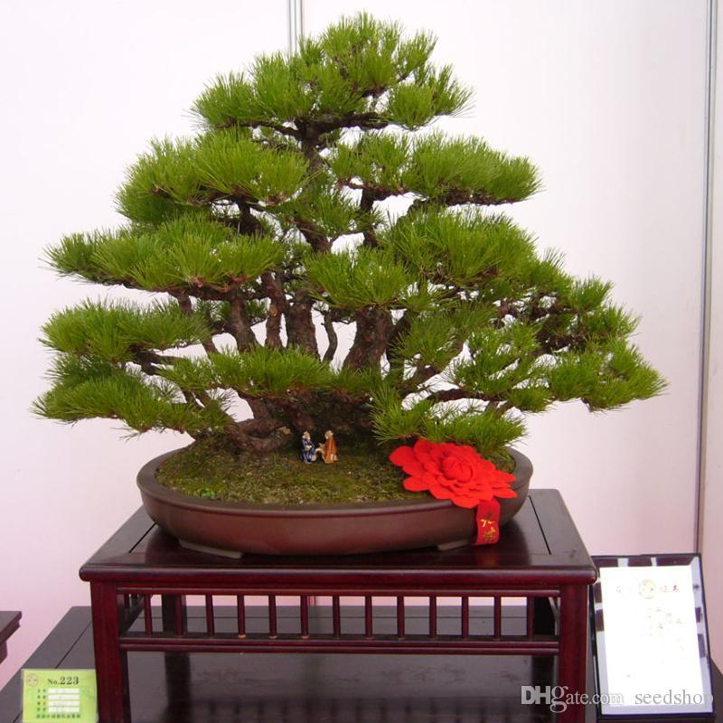 30 unids / bolsa semillas de árboles de pino japonés bonsai flor fácil crecimiento DIY jardín de su casa fácil de cultivar
