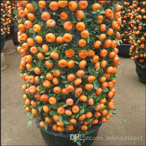 2019 500 Seeds/Bag Orange Seeds Climbing Orange Tree Seed
