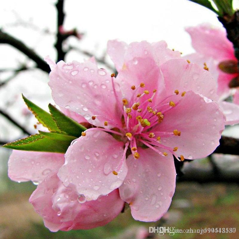 2019 Rare Sakura Seeds Bonsai Flower Cherry Blossoms Tree