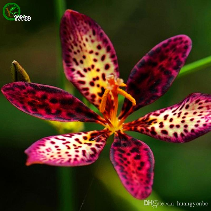 Leopard flower Seeds Bonsai Seeds Garden Plants Flower Seeds Annual Herb 30 Particles / D02