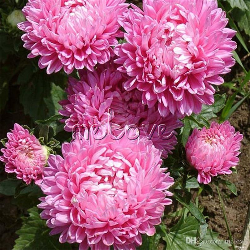 Acheter 200 Rose Chinse Aster Fleur Graines Facile À Cultiver ...