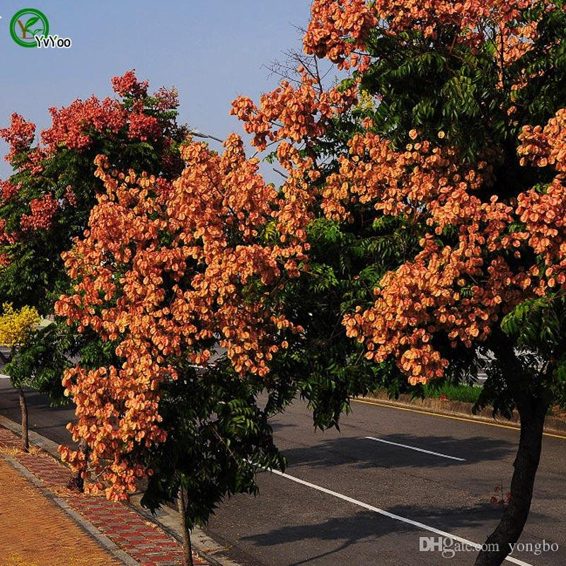Koelreuteria Tohumları Ağaç Saksı Bonsai Avlu Ev Bahçe Bonsai Bitki 20 adet Z015