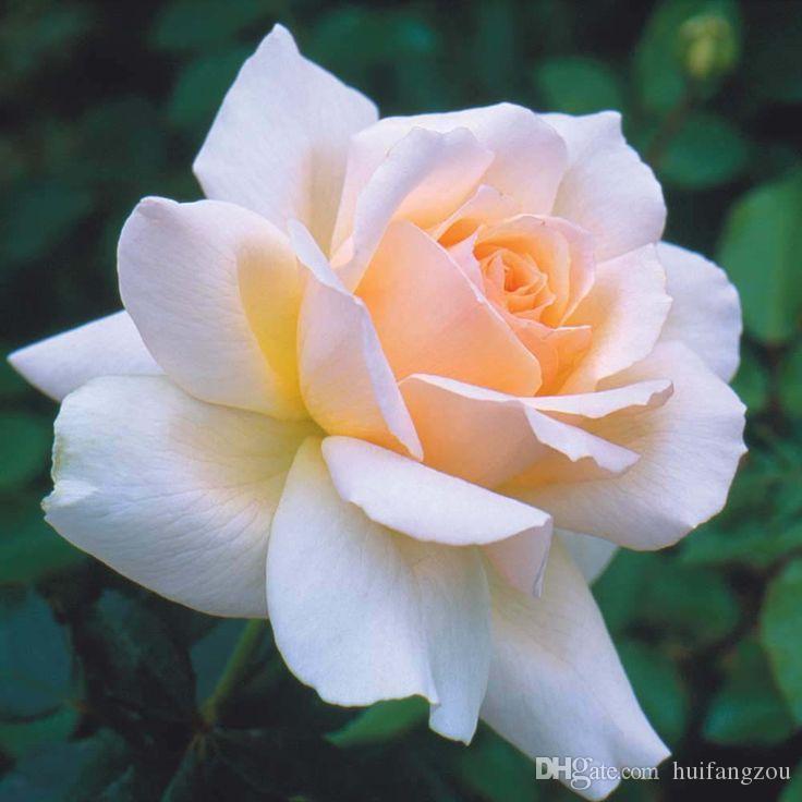 Acquista Semi Di Rosa Arcobaleno Di Vendita Calda Di Libero ...