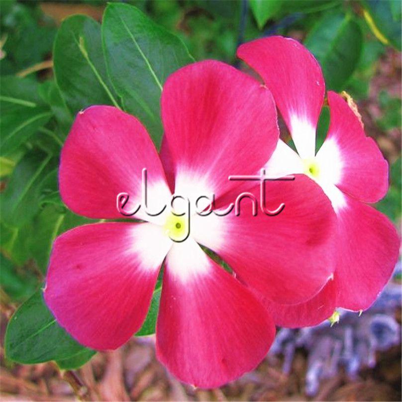 Acheter Rose Rouge Madagascar Fleur Pervenche 100 Graines