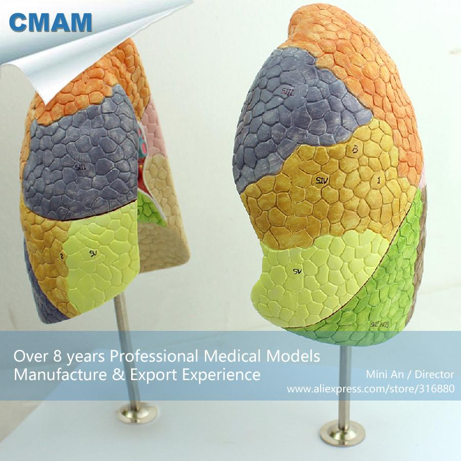 2018 Wholesale Cmam Lung03 Life Size Segmental Anatomy Human Lung ...