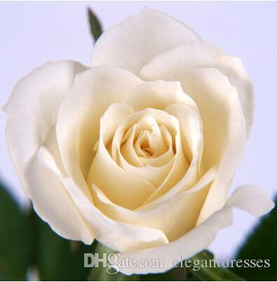 2017 Hot Sale White Rose Red Rose Seeds *Seeds Package* Flower Seeds For Home Garden Plants M13