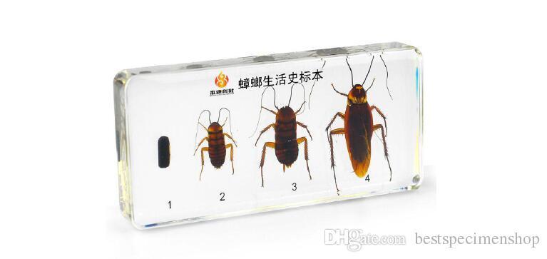 Жизненный цикл образца комнатной мухи Смола встраиваемые наборы для биологии науки Прозрачная мышь Пресс-папье для детей