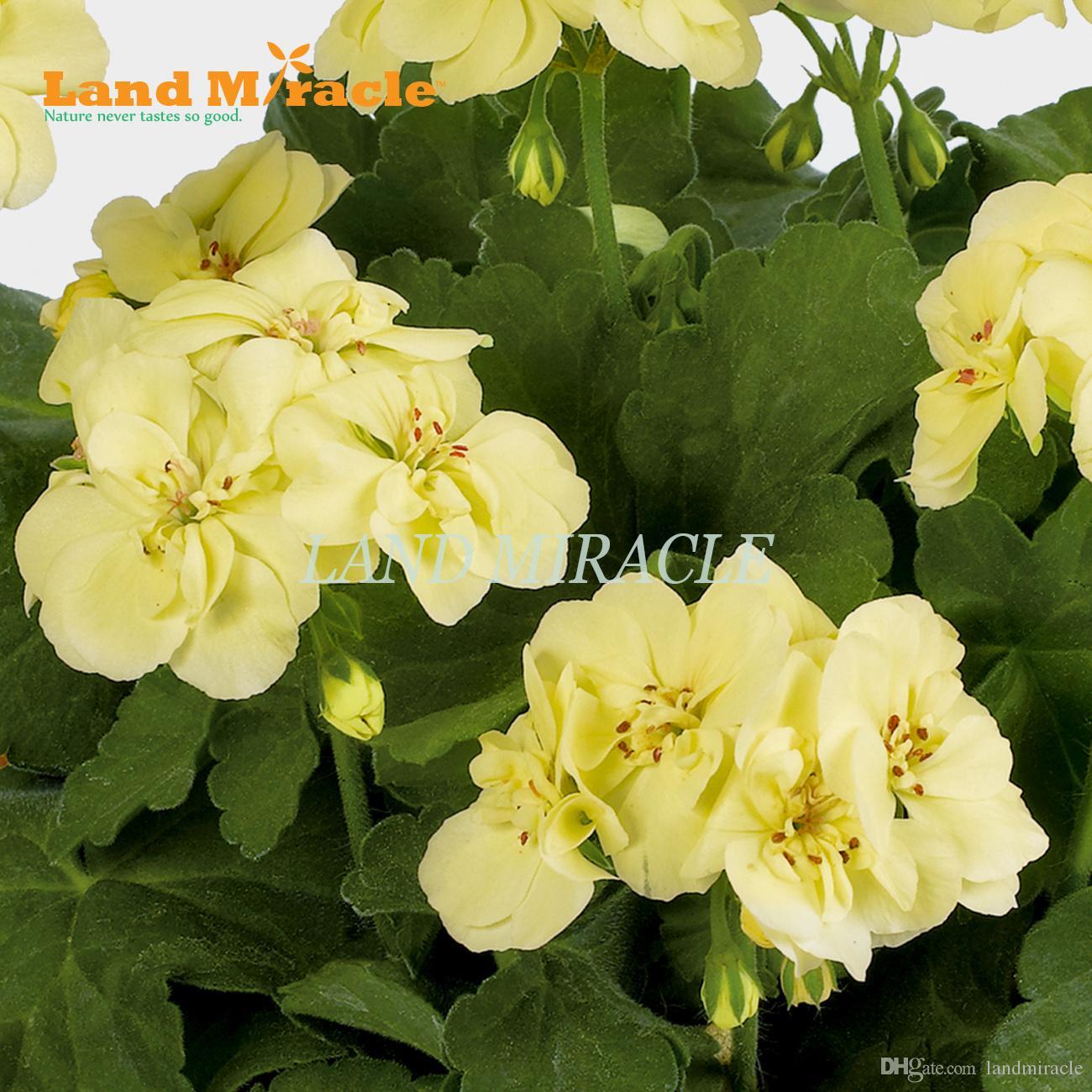 Nadir Sardunya Tohumları, 5 Tohumlar, Sarı Pelargonium Çok Yıllık Saksı Bitki kapalı / açık Bahçe Çiçekleri