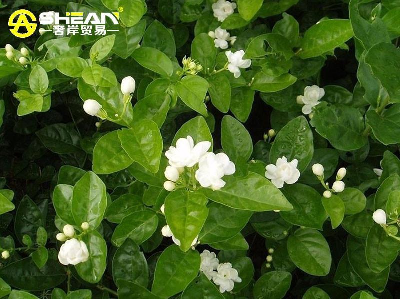 30 Pcs Bag White Jasmine Seeds Jasmine Flower Seeds
