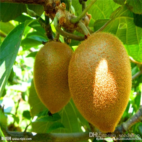 2019 kiwi fruit seeds thailand mini kiwi fruit seeds