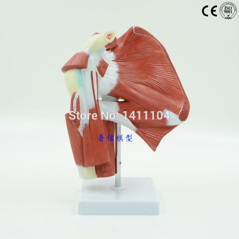 Wholesale- &Upper Limb with Deep Muscle Dissect Model, Upper Limb ...