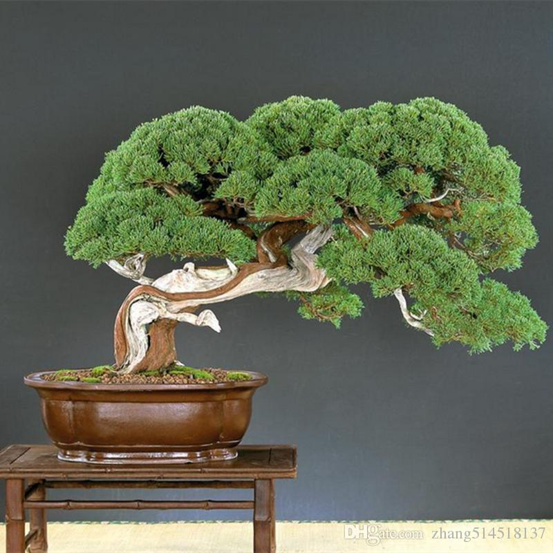 bonsai prezzi online