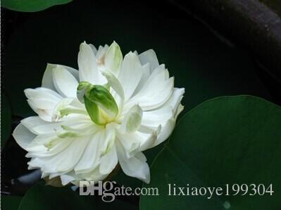 2019 Lotus Flower Seeds Varieties Nelumbo Nucifera Chinese