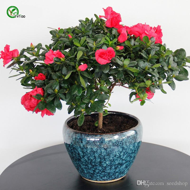 2018 Indoor Potted Seeds Azalea Flowers Seeds Very Beautiful Flower ...