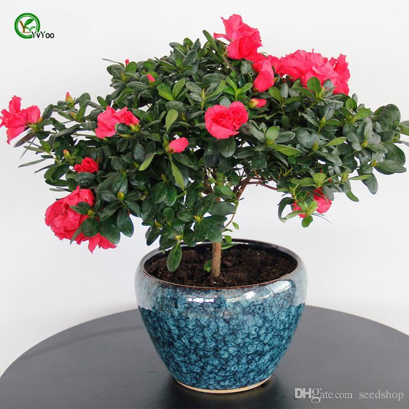Acquista semi in vaso da interno azalea flowers seeds - Azalea da interno ...