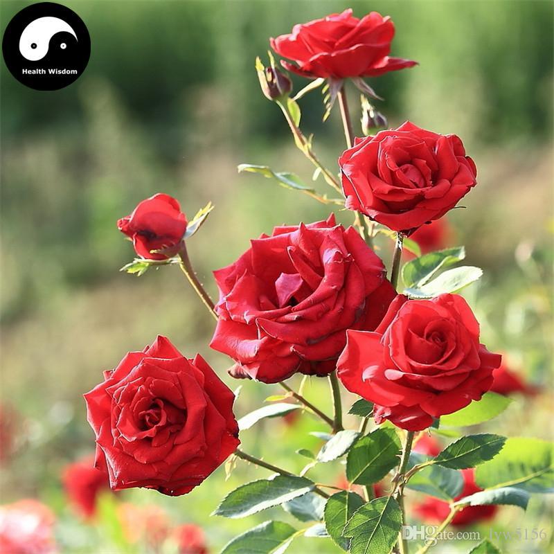 Compre comprar red rosa rugosa semillas planta rosa flor for Pianta rosa