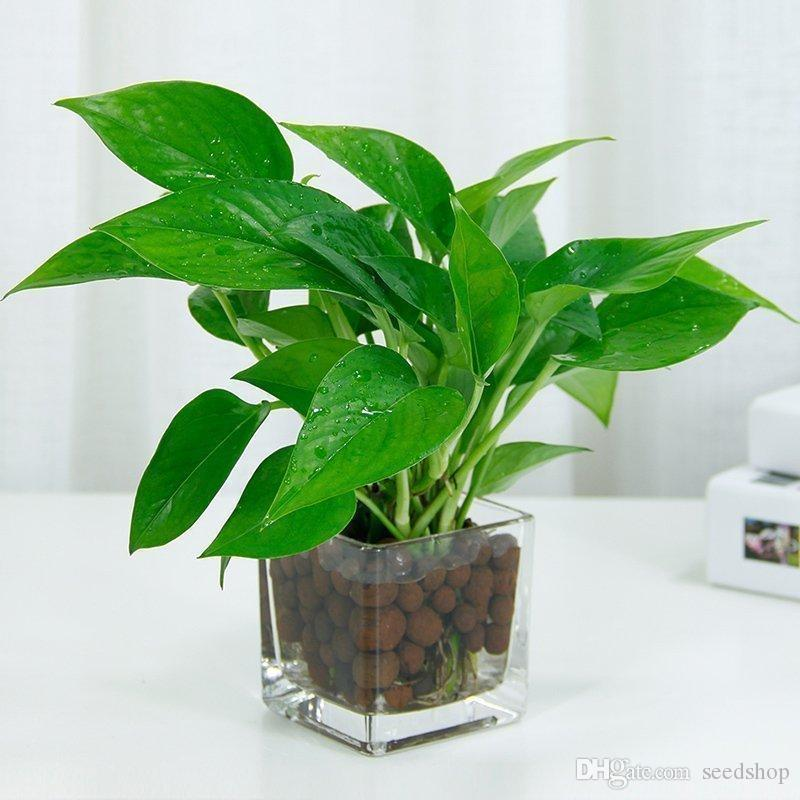 Best Indoor Plants For Small Pots: 2019 Small Room Office Copper Money Grass Seed Plants In