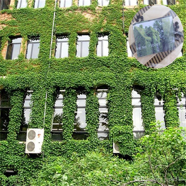 Lierre de Boston Plantes feuillues grimpantes Graines de brocart à 3 feuilles Les informations sur les quatre saisons sont faciles à classer 100bag / IB101