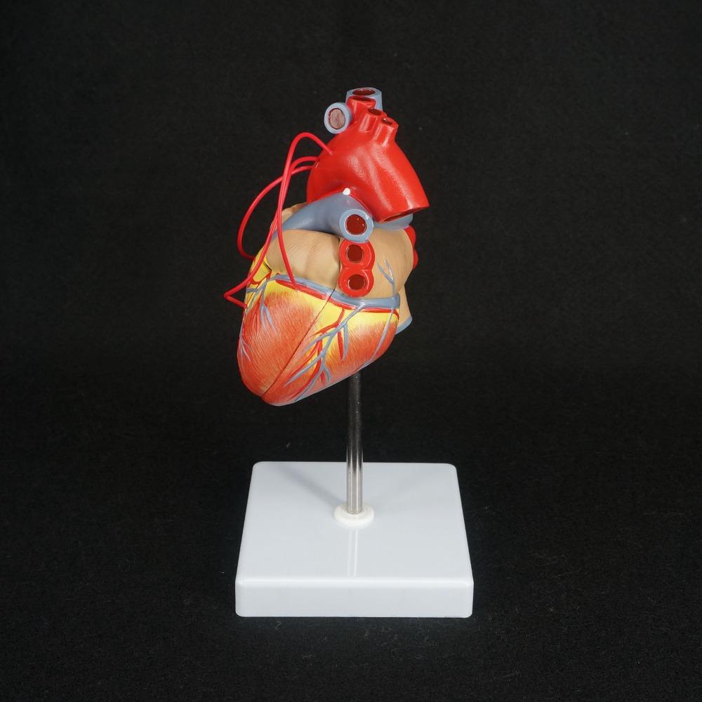 Wholesale Scientific Heart With Bypass Life Size Anatomical Model