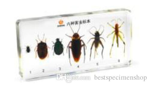 Ciclo de vida de la muestra de mosca doméstica Resina Integrada Biología de la mosca doméstica Kits de ciencias Ratón transparente Pisapapeles Niños aprendiendoEnseñando muestras