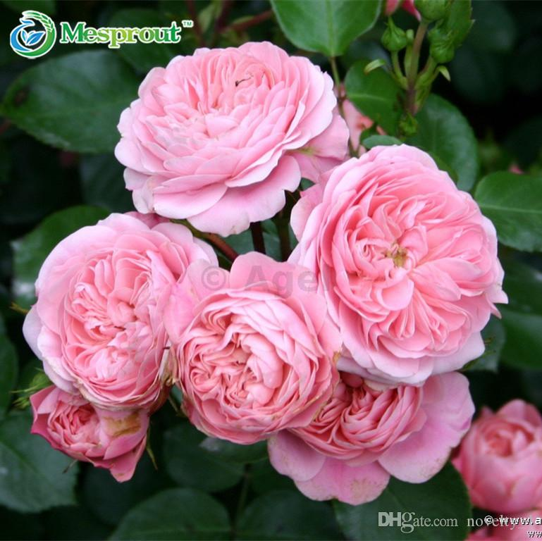 2018 rose seeds climbing plants polyantha rose chinese flower 2018 rose seeds climbing plants polyantha rose chinese flower climbing roses seeds bagmixed color from novelty1 865 dhgate mightylinksfo